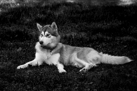 Dog breed alaskan malamute in a garden. Shallow depth of field. Selective focus. Toned.