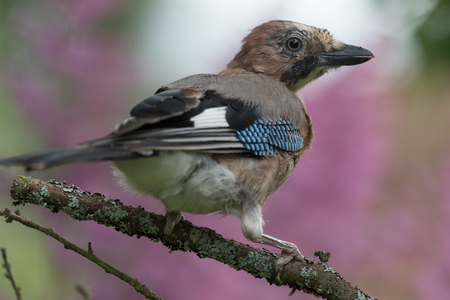 Eurasian jay (Garrulus glandarius) on the branch of tree in a forest. Blurred natural background. Selective focus.