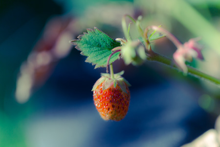 Fresh strawberry in the garden. Shallow depth of field. Selective focus. Toned.
