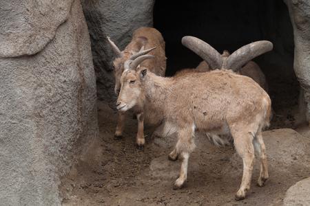 Large ram in a zoo. Lizenzfreie Bilder