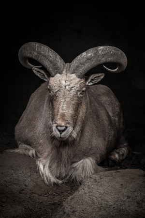 Large ram in a zoo. Toned.