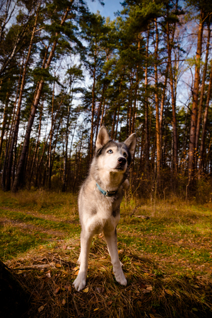 Dog breed husky on the walking in a forest. Selective focus. Toned.