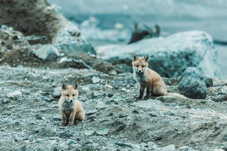 Young cute little foxe on a stony sea coast. Selective focus. Toned.