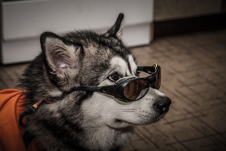 Young alaskan malamute with t-shirt and glasses lays on a linoleum floor. Selective focus. Shallow depth of field. Toned.
