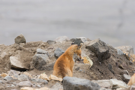Young cute little foxe on a stony sea coast. Selective focus. Stock Photo