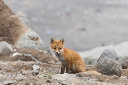 Young cute little foxe on a stony sea coast. Selective focus.