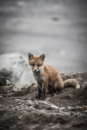 Young cute little foxe on a stony sea coast. Selective focus. Toned.
