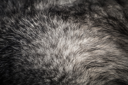 Wool of Alaskan malamute