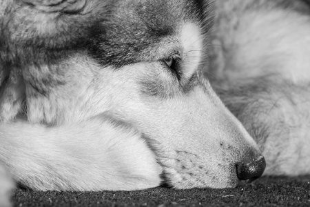 Portrait of a sleeping Alaskan Malamute
