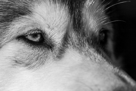 Portrait of a young Alaskan malamute, the color of a wolf