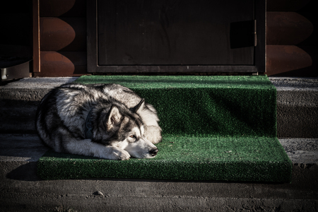Lying on the porch of the house Alaskan Malamute
