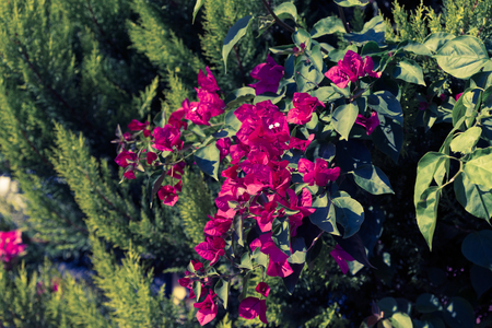 Flowering bougainvillea on green background. Wild blossom. Selective focus. Toned.