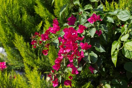 Flowering bougainvillea on green