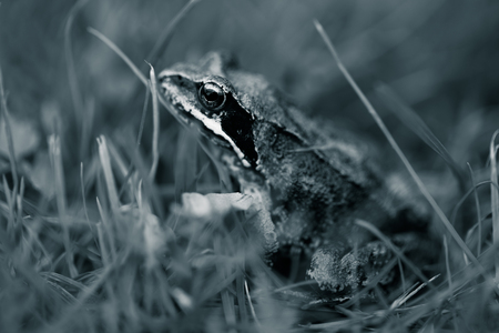 Frog on a grass in a garden. Shallow depth of field. Selective focus. Toned. 写真素材