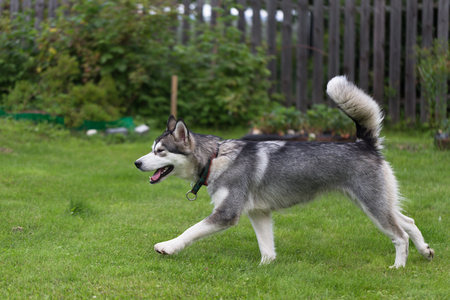 Dog breed alaskan malamute plays in a garden. Selective focus. Imagens