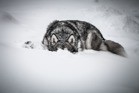 Dog breed Alaskan Malamute on a snow. Toned.