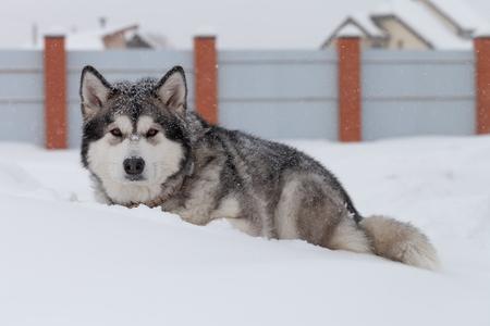 Dog breed Alaskan Malamute on a snow.