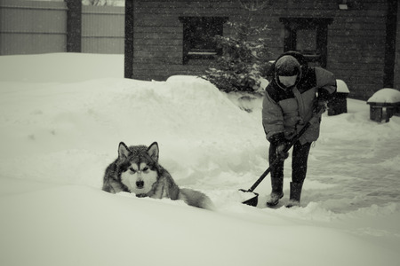 Old woman in warm blue jacket clears a snowdrifts with a snow shovel. Dog breed Alaskan Malamute lies nearby. Toned.