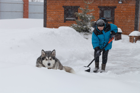 Old woman in warm blue jacket clears a snowdrifts with a snow shovel. Dog breed Alaskan Malamute lies nearby.