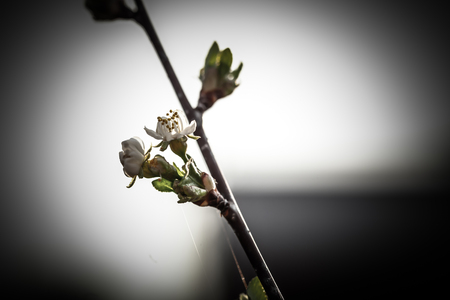 Small new leaves on an cherry tree branch. Spring in the garden. Selection focus. Shallow depth of field. Toned. Reklamní fotografie