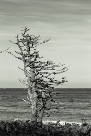 Dried Trees on the Pacific Coast Kunashir Island. Toned. Imagens