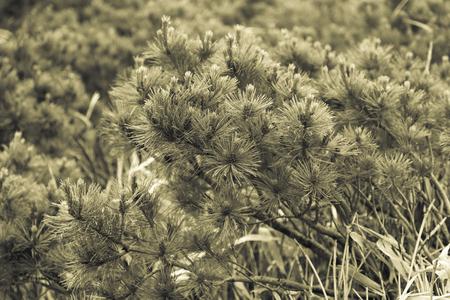 Fluffy Pines of Kunashir Island. Toned. 版權商用圖片 - 124707262