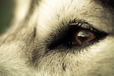 Alaskan Malamute breed dog close up. Selection focus. Shallow depth of field. Toned. Imagens