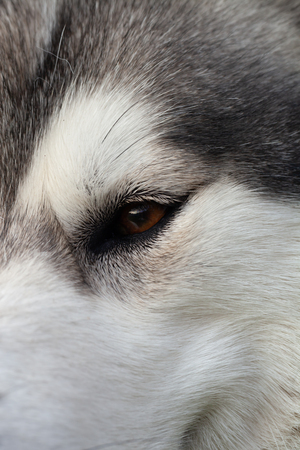 Alaskan Malamute breed dog close up. Selection focus. Shallow depth of field. Imagens