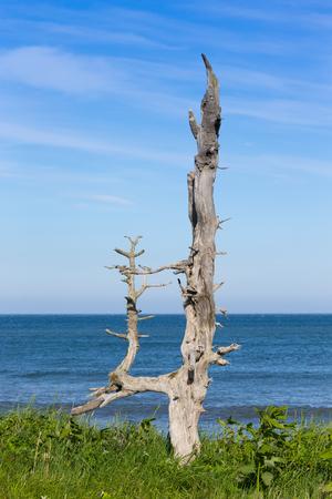 Dried Trees on the Pacific Coast Kunashir Island. 版權商用圖片 - 124707723