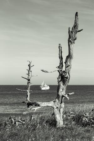 Dried Trees on the Pacific Coast Kunashir Island. Toned.