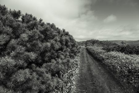 Fluffy Pines of Kunashir Island. Toned. Imagens