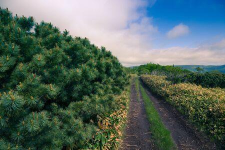 Fluffy Pines of Kunashir Island. Toned.