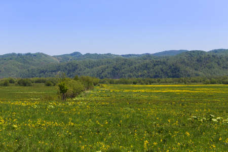 Yellow flowers on a flowering field in a sunny day on Sakhalin island.