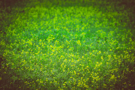 Yellow flowers on a flowering field in a sunny day on Sakhalin island. Toned. Standard-Bild