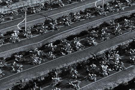 Strawberry beds on a farm fields in a Vietnam. Toned. Standard-Bild