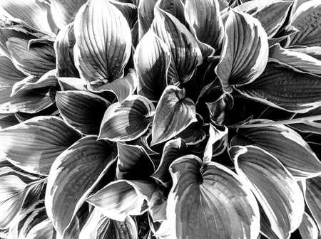 Bright green hosta with leaves in garden for design background. Toned. Standard-Bild