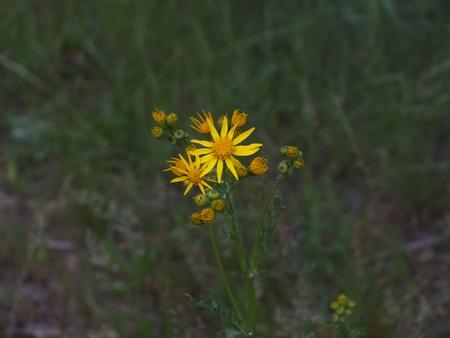 developed yellow field flower