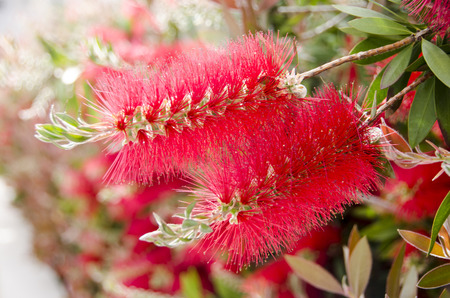 derives: A close up to (Callistemon).A  red flower bottle brush tree the name derives from the plants flowers which look like brushes for cleaning bottles.