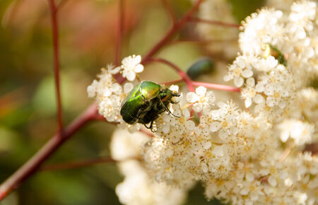 formal garden: Spring lovers or Love is everywhere.Close up of two Insects on Spring tree