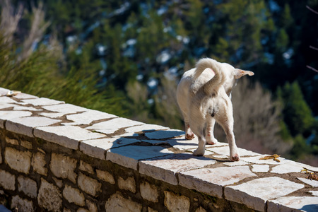 White dog on stony vintage wall seaching for something ,somewhere in a village of mountainous Greece photo