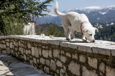 Cute white dog on stony vintage wall with snowy mountains as background somewhre near a village . Winter in mountainous Greece photo