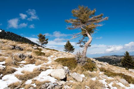 Tree standing alone on the top of a hill with rocks and snow on ground under a blue sky. Low angle view