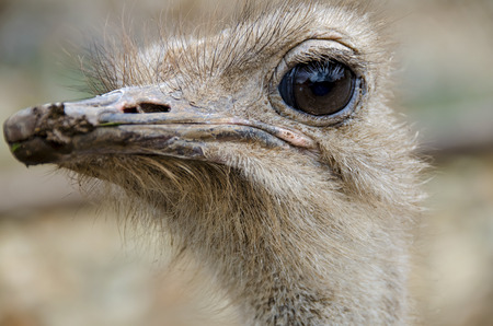 struthio camelus: Close up of Ostrich or Common Ostrich (Struthio camelus) is one  of large flightless birds native to Africa