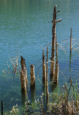 rising dead: Dead trees rising from the lake water surface