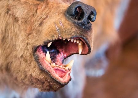 Cerca de las mandíbulas abiertas del simulacro prehistórico de temporada (caballería caviar) oso