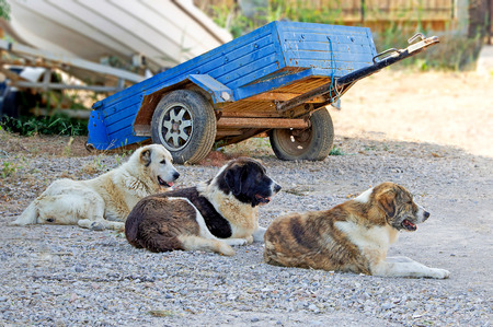 Three dogs in a row are sitting and guarding on the front of vehicles