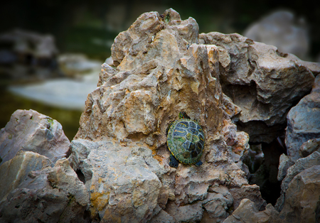 Little baby green turtle trying to climb on a rock.