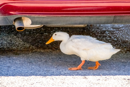 White duck is finding shelter underneath a car.