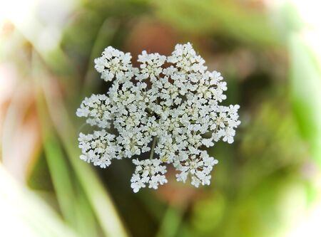 close up of wild carrot plant