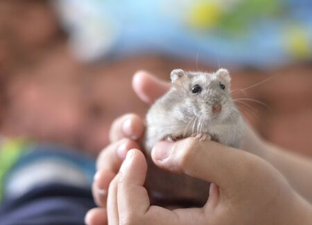 Kid holding a cute grey hamster, children and pets.
